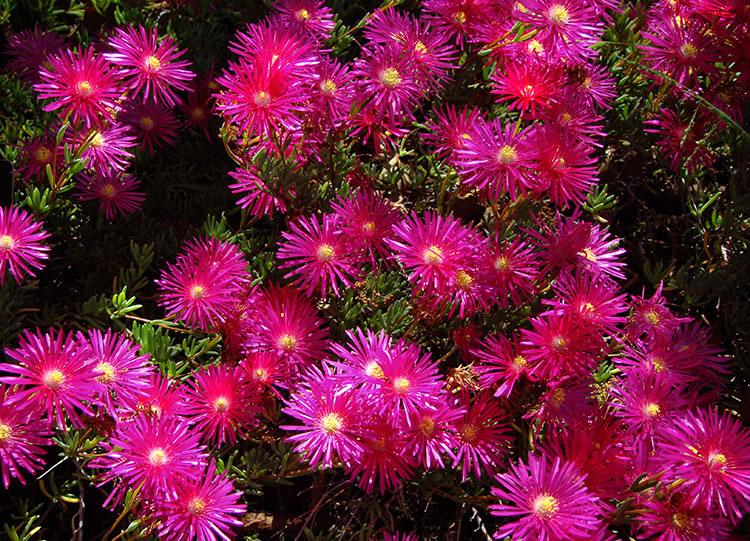 Magenta_Flowers